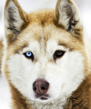 Husky Appearance Eyes Coat Color Breed Tails Of The Tundra