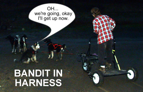 Bandit in Harness